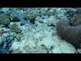 Красноморский тилозур(рыба-игла)